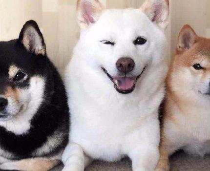 柴犬FCI国际纯种犬标准
