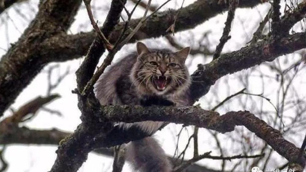 狸花猫野性很大,无法和主人产生感情吗?