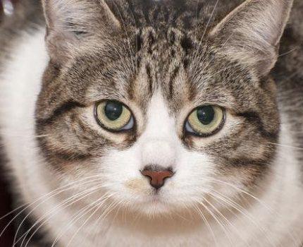 中华田园猫的颜值有多高你真的了解吗?