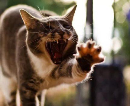 猫咪发情期的叫,是寂寞的哀嚎