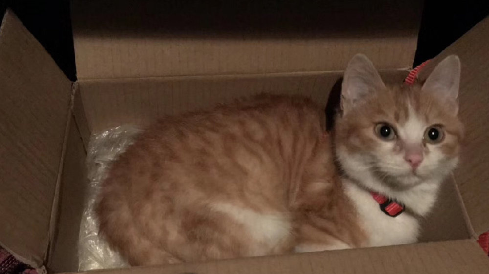 领养一只猫咪,原主人却找上门来,怎么办?