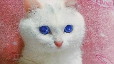 你见过眼睛这种颜色的猫吗?