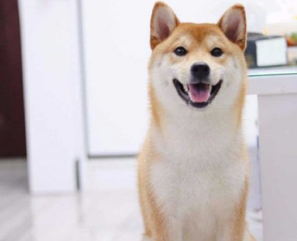 怎么区分柴犬和柴犬串串?