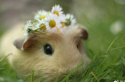 康豚生态豚鼠养殖,人人都放心