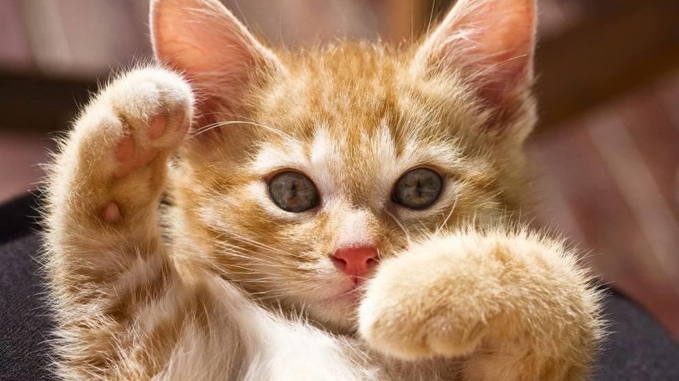 """尽早绝育吧,猫并不需要""""完整的猫生"""""""
