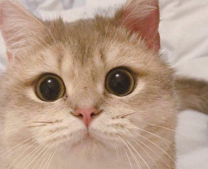 最适合新手养的猫咪。