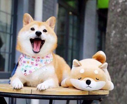 品种较纯的柴犬多少钱一只?柴犬的价格分析