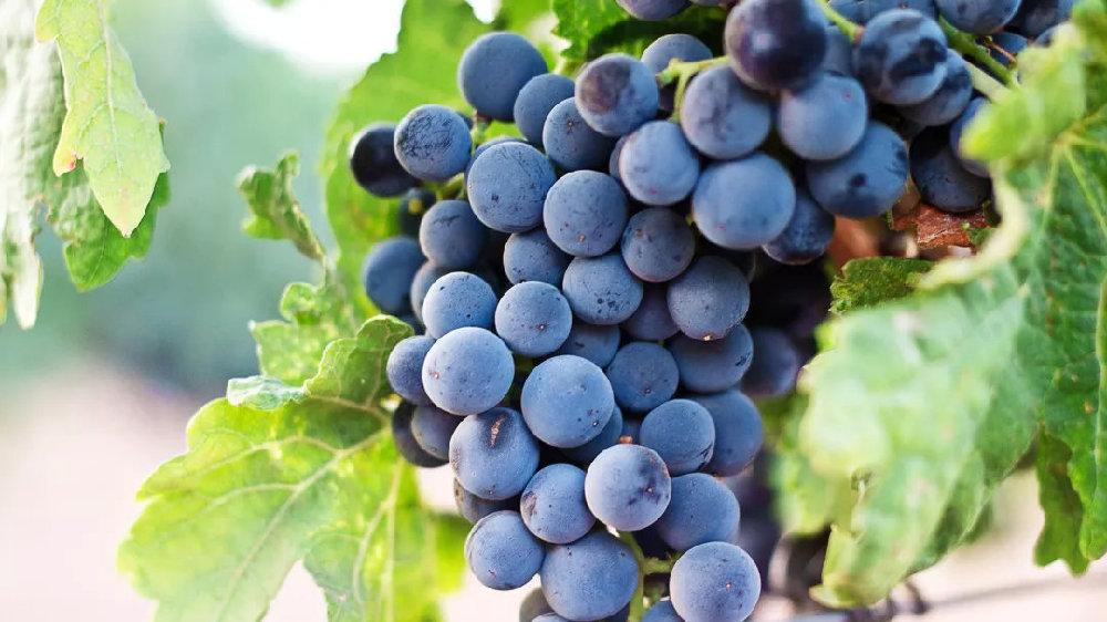 娇贵而难以伺候的葡萄酒中公主——黑皮诺
