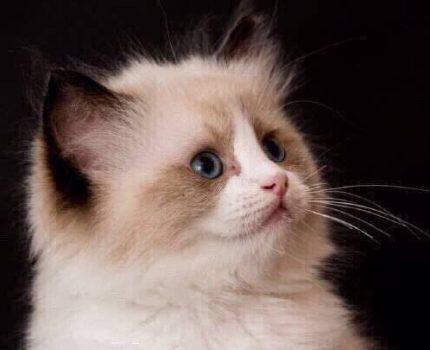 猫舍介绍与购猫流程