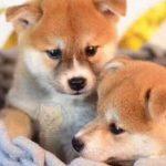 柴犬幼崽怎么挑选?柴犬什么价格?