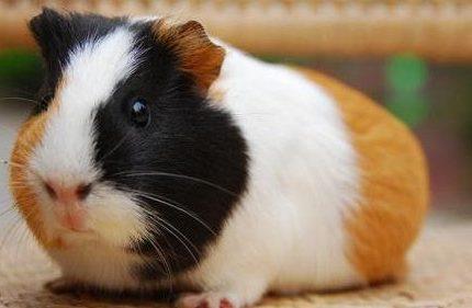 康腾豚鼠9号养殖,健康状态。
