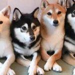 柴犬的养护之柴犬驱虫