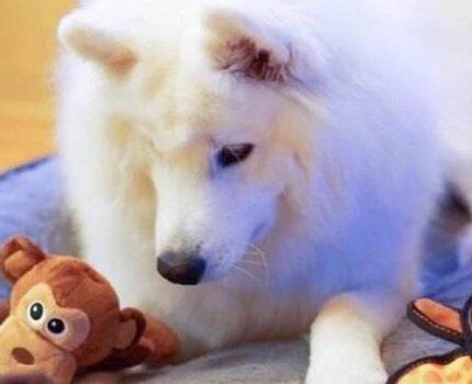 训练狗狗整理玩具的小技能
