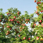 儿时的苹果园
