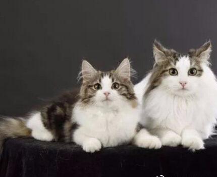 被女神遗落在人间的猫:挪威森林猫