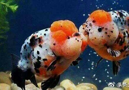 有哪些好看的金鱼