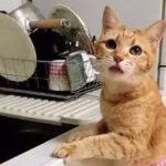 下班回家,发现猫把饭都做好了……