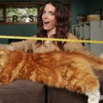 缅因猫的平均体重是多少?