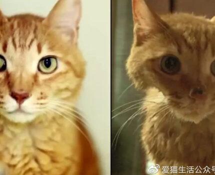 因为爱,这只橘猫爆瘦成一道闪电……