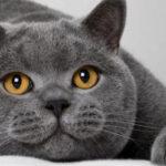 如何正确的饲养英国短毛猫?