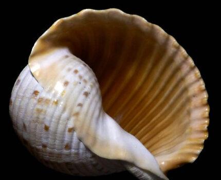 世界鹑螺科Tonnidae物种名录
