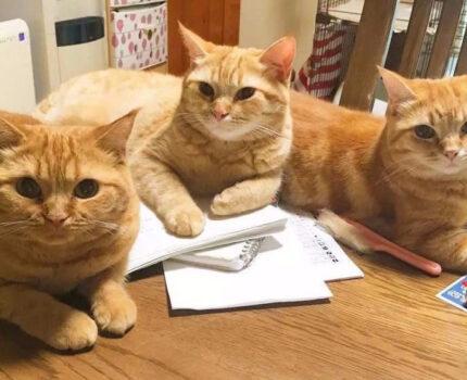 养五只橘猫是种什么体验?