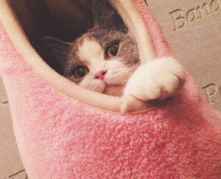常见的宠物猫品种有哪种?