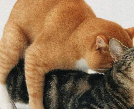 怎么给猫咪配种?猫咪配种怎么才算成功?