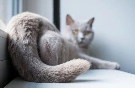 猫甩尾巴只代表生气吗?