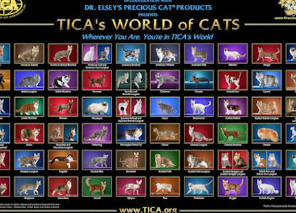新手买布偶猫,如何才能选到真正的赛级猫?