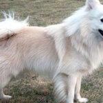 银狐犬的优缺点,是否适合你带他回家?