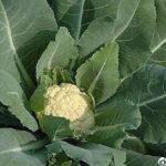 花椰菜应该如何采收和贮藏呢?