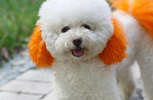 宠物狗中,这3种狗弃养率最高,泰迪排第一