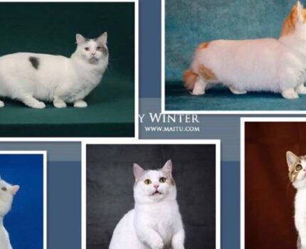 矮脚猫由来-Munchkin曼基康 篇