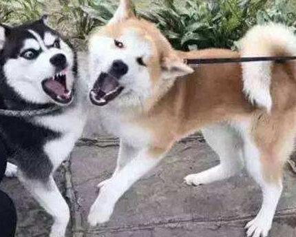 为什么秋田犬被禁养而他却可以