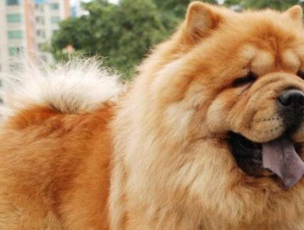 新手挑选纯种松狮犬须知三个小知识!