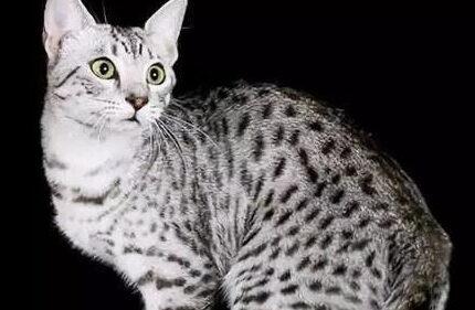 埃及猫,不一样的小型豹,埃及的神猫
