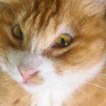 我家的小猫咪,丢失了上眼睑…