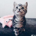 萌萌哒的虎斑猫却有这么多的优缺点!