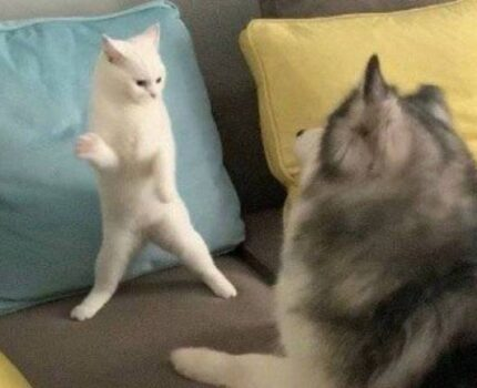 英短蓝猫无偿送养