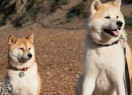 柴犬和秋田犬怎么辨别?