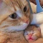 母猫总将幼崽叼给铲屎官,是想弃养?潜台词到底是什么呢