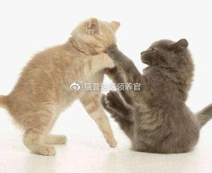 新领养的猫跟原住猫不合?这里有份攻略能解决你的问题