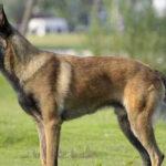 其实马犬比德国牧羊犬更好,原因有5点!