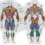 人体主要肢体运动的作用肌