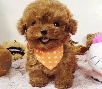 教你看出泰迪犬和比熊犬的区别