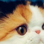 做猫舍的那些事儿3:什么是真正的繁育人?