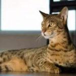 阿什拉猫多少钱一只?阿什拉哪里买?