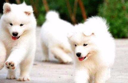 什么时候开始训练萨摩耶幼犬最好?