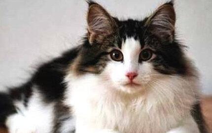 挪威森林猫:可不要和这些相似猫混淆!